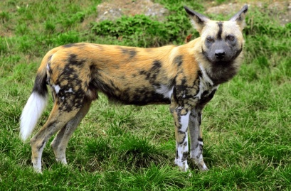Each wild dog has its own stripes