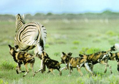 Wild dogs in pursuit of a zebra