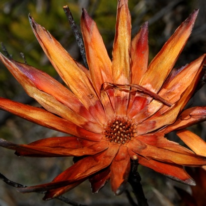 Burnt Protea