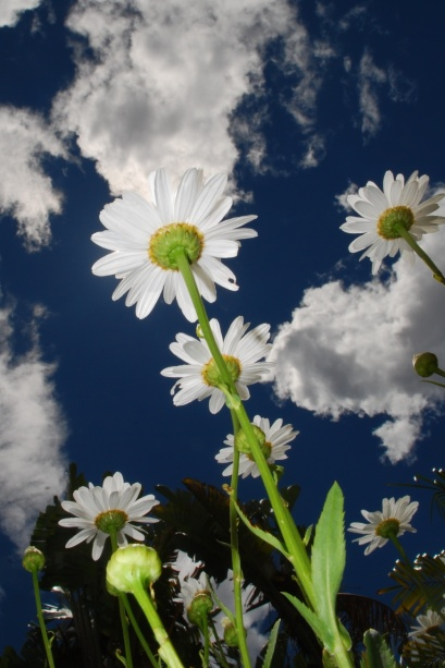 Namaqua Daisies - Bottom View