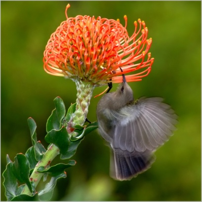 Protea Flower with sunbird