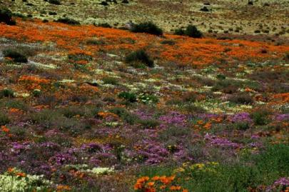 West Coast Wild Flowers in South Africa